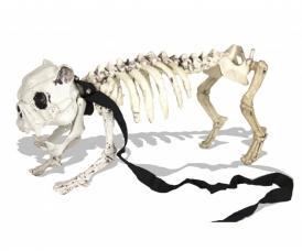 squelette medor