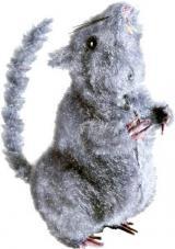 rat gris et poilu