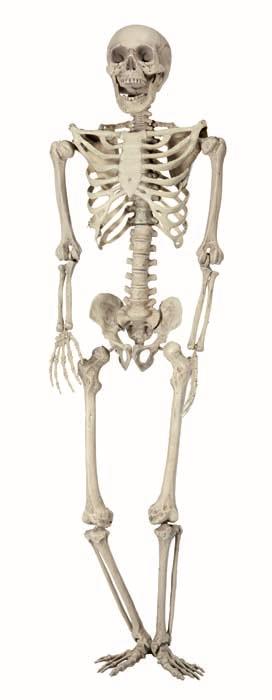 Squelette réaliste pas cher